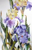 Elaine Tweedy - Edith Wolford Iris (SOLD)